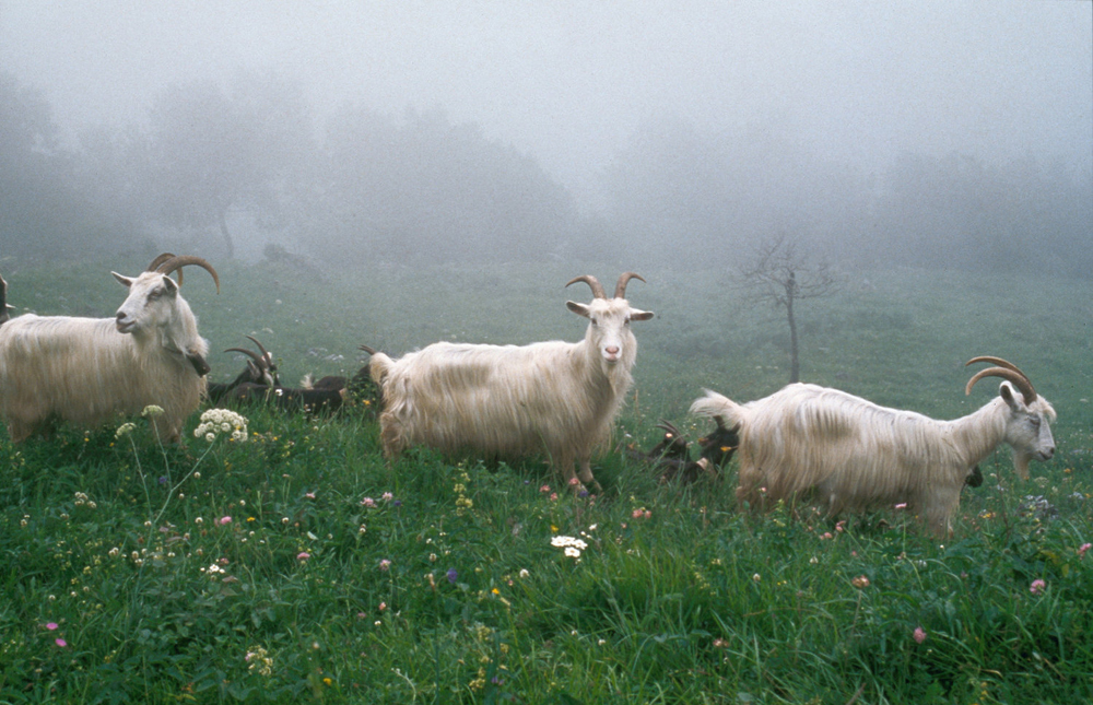 Goats from the Pyrénées