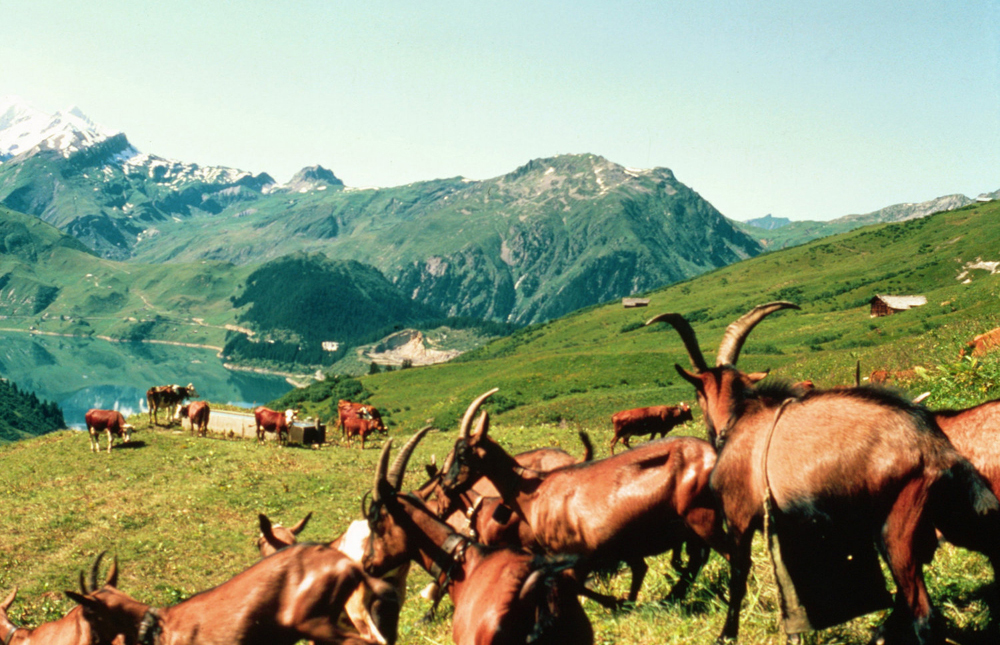 Goat and caox in the Alpes